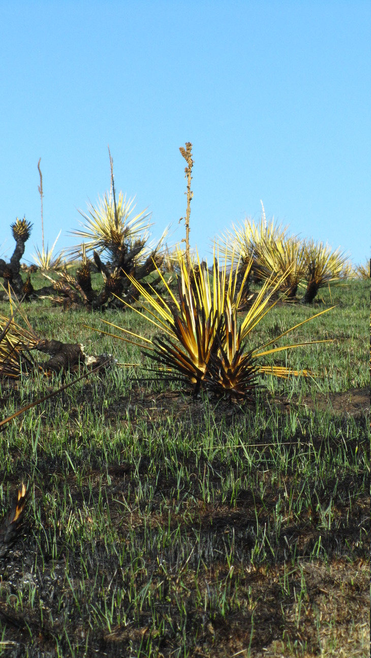 South Table Mountain - Yucca Tall